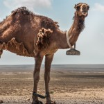 Shedding-camel-1024x640