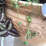 string-of-pearls-plant
