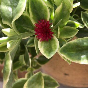 flower-on-heartleaf-ice-plant