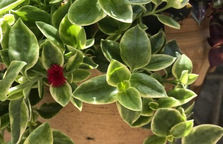 heartleaf-ice-plant